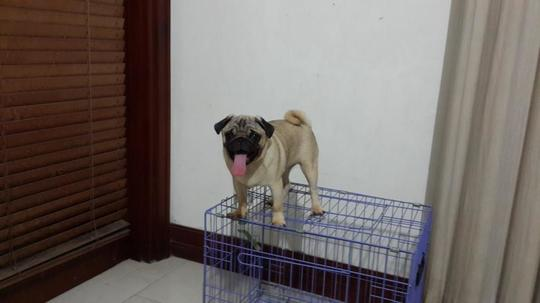 Terjual Jual Anjing Pug Champion Bloodline Bs Tt Dengan Baby Jackson Veiled Chameleon Kaskus