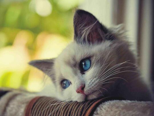 Kumpulan Foto Foto Kucing Kalo Lagi Stress Sedih Dan