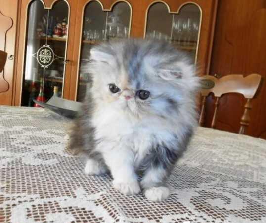 Unduh 93+  Gambar Kucing Anggora Umur 3 Bln Paling Lucu Gratis