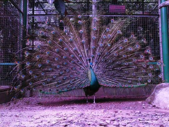 950 Gambar Burung Merak Yang Indah Sekali HD Terbaik