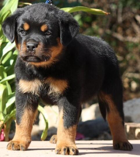 Terjual Dijual Anjing Rottweiler Puppies Remaja Dewasa Top Quality Jakarta Barat Kaskus