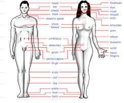 Kapasitas Dan Ukuran Organ Tubuh Manusia Yang Perlu Agan Tau Kaskus