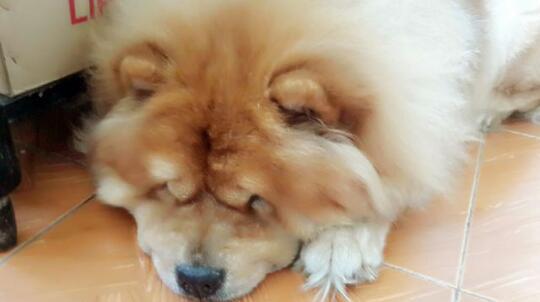 Terjual Anjing Chow Chow Cinamon Cream Putih Kaskus