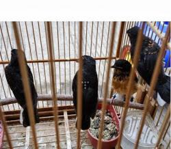 Terjual Anakan Jantan Murai Batu Medan Super Jenis Ekor Panjang 25 30 Cm Kaskus