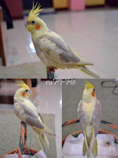 Download 780+ Foto Gambar Burung Falk Albino HD Terbaru