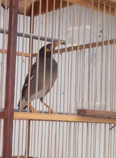Terjual Burung Jalak Nias Kaskus