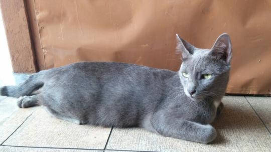 Kucing Busok, Ras Asli Indonesia