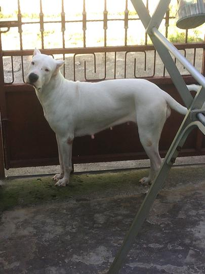 Dogo Argentino Lovers - Part 2
