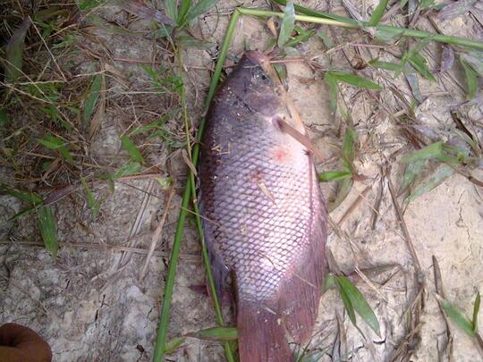 Budidaya Ikan Gurami Page 161 Kaskus