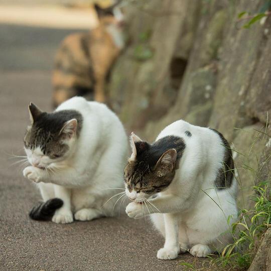 Kucing Domestik Kucing Murah Kucing Super Kaskus