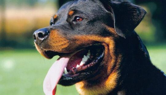 5 Jenis Anjing Penjaga Paling Tangguh Yang Kadang Bisa Jadi Pembunuh Menakutkan Kaskus