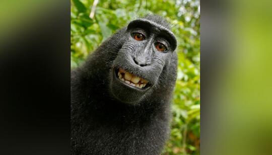 Sengketa Hak Cipta Foto Monyet Sulawesi Selfie Berakhir Damai