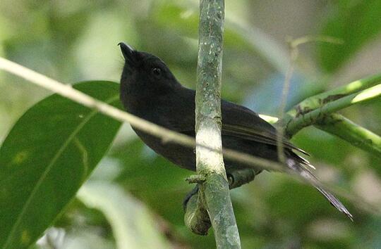 Srigunting Burung Unik Si Peniru Ulung Kaskus