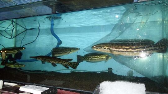 Permasalahan Ikan Toman Mogok Makan Help Kaskus