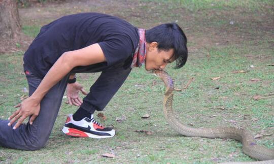 Pengobatan Adat, Menanti Kobra Mati agar Pawang Ular Siuman