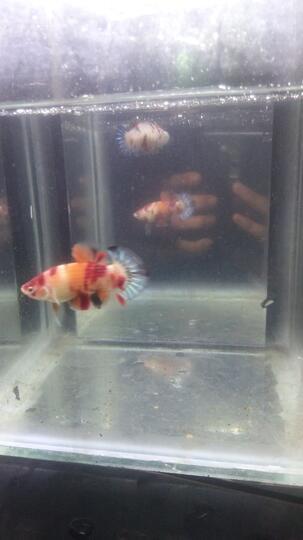 Mengenal Jenis Jenis Ikan Cupang Kaskus