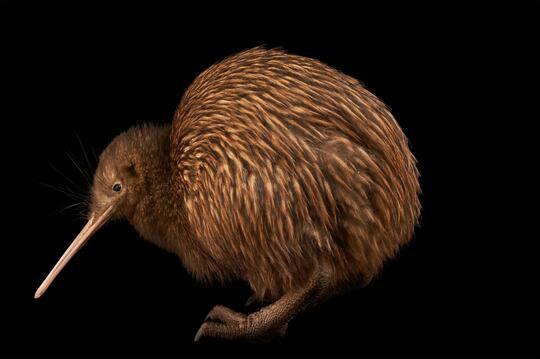 8100 Gambar Hewan Burung Kiwi Terbaik