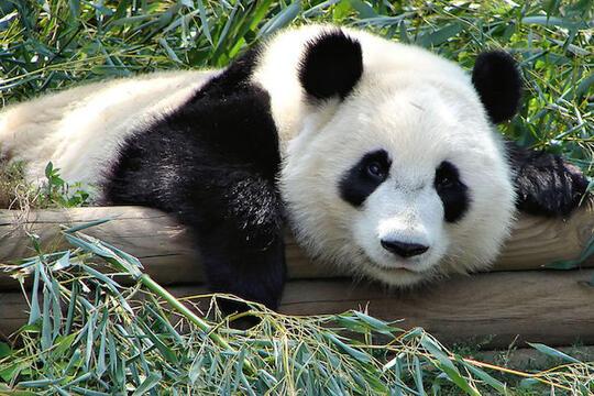 Dulunya Makan Daging, Panda Berevolusi Jadi Hanya Makan Bambu