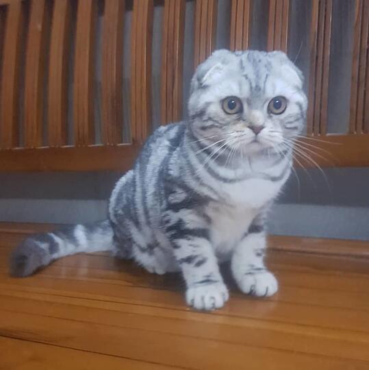 Balasan Dari Kucing Scottish Fold Kaskus