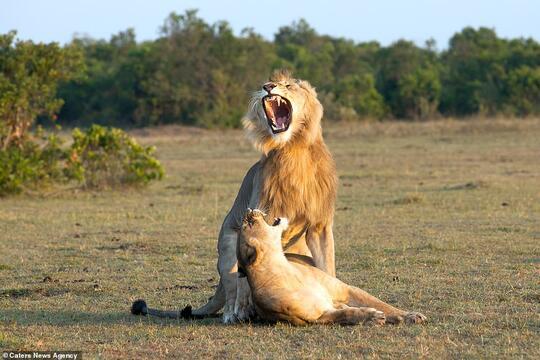 Ekspresi-Ekspresi Lucu Ketika Singa Jantan Bertemu Dengan Singa Betina