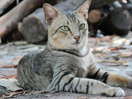 Asyiknya Memelihara Kucing Kampung Kaskus