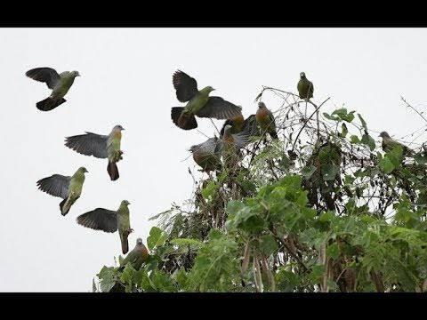 Awas! Berburu Burung Punai Malam Hari, Ada Jin Mengiringi