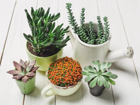 Gini Gan Caranya Biar Tanaman Succulent Panjang Umur, Cekidot!