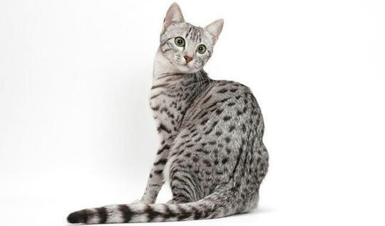 6 Jenis kucing favorit ane (nomor 4 tatapannya luar biasa)