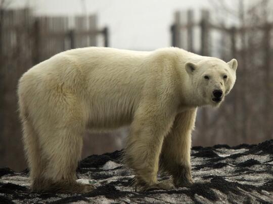 Beruang Kutub Kelaparan Kesasar ke Dalam Kota di Rusia