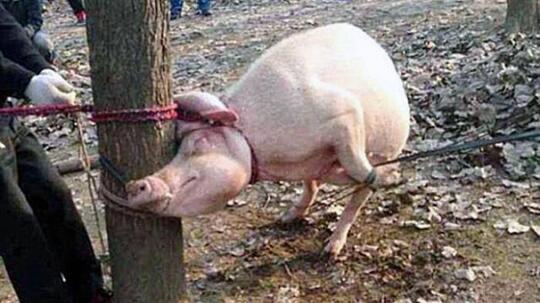Foto Babi Di Potong Buleleng Surplus Babi Potong Kaskus