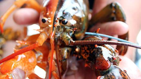 Lobster Super Langka 2Face Tertangkap Nelayan, Untung Belum Dimasak!