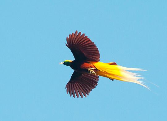 7 Jenis Burung Cendrawasih Endemik Indonesia.