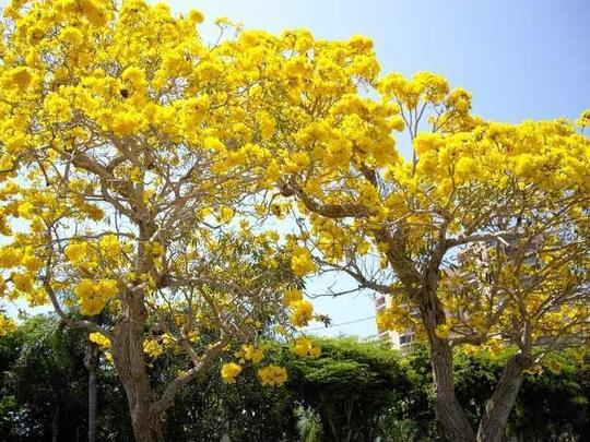 Pohon Tabuyeya Musim Kemarau Tetap Berbunga