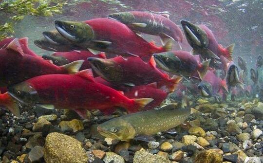 Ikan Salmon, Kehidupan Penuh Perjuangan Dan Pengorbanan