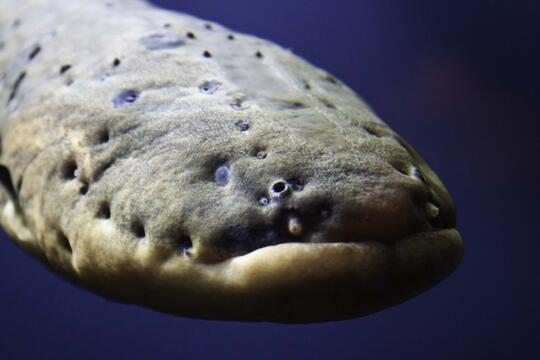 10 Ikan Paling Berbahaya di Dunia
