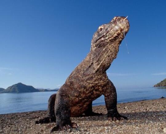 Punya Duit 14 Juta? Main Saja ke Pulau Komodo Melihat Kadal Raksasa!