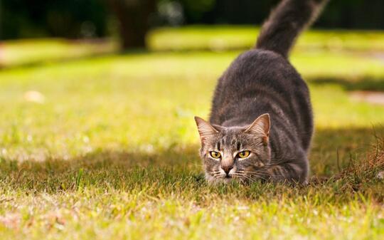 Alasan Di Balik Kucing yang Suka Menggoyangkan Bokongnya Sebelum Menyerang/Menerkam!