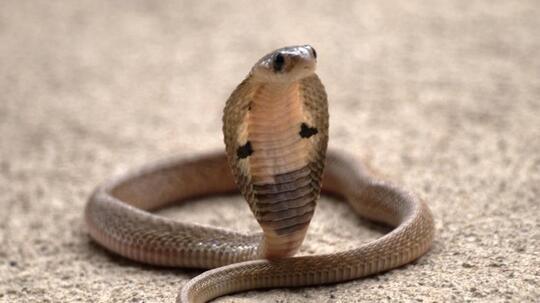 Tewas Digigit King Kobra, Rendy Cuma Oleskan Minyak Kayu Putih Usai Dipatuk