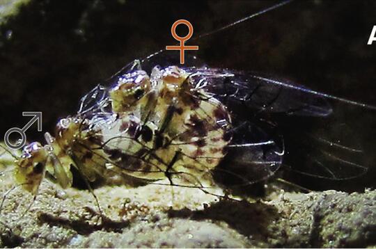 Fakta Unik Sistem Reproduksi Hewan, Mati Setelah Kawin.