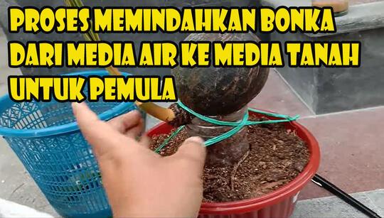 Bonsai Kelapa Unik Media Air