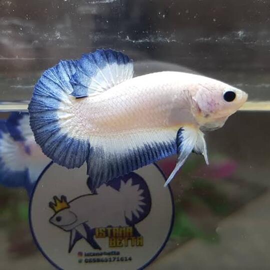 Cupang Blue Rim Ikan Hias Indah Yang Sering Dilombakan Kaskus