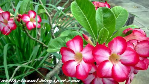 Mau Membudidayakan Tanaman Bunga Adenium Nggak Susah Kok Mampir Dimari Gan Kaskus