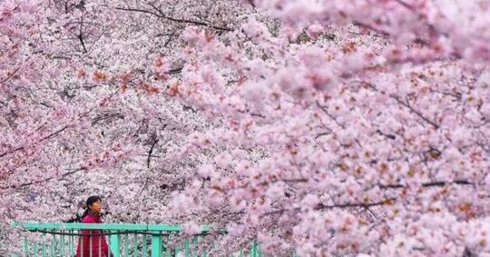 mengenal-orang-orang-bernama-sakura