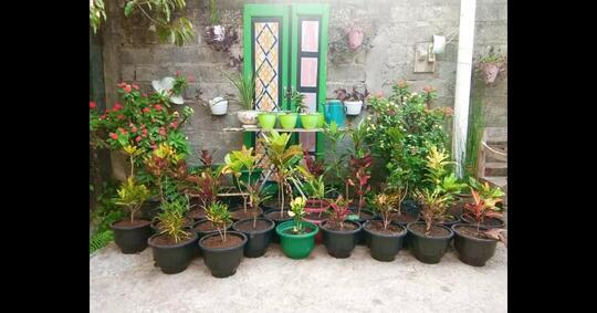 tanaman-hias-ini-sering-dicap-penuh-aroma-mistis-namun-ternyata-kaya-manfaat